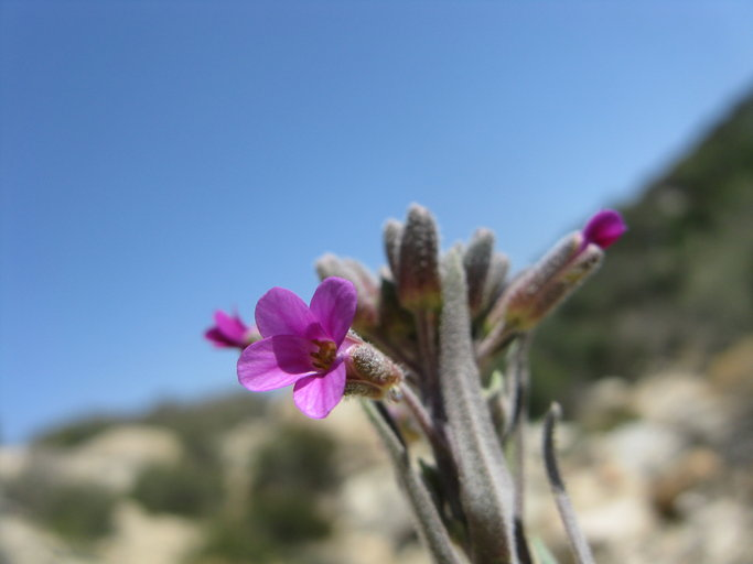 Arabis sparsiflora