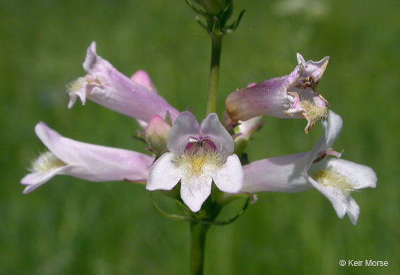 Image of Penstemon rydbergii