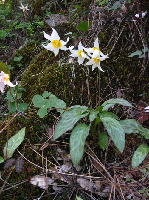 Erythronium helenae