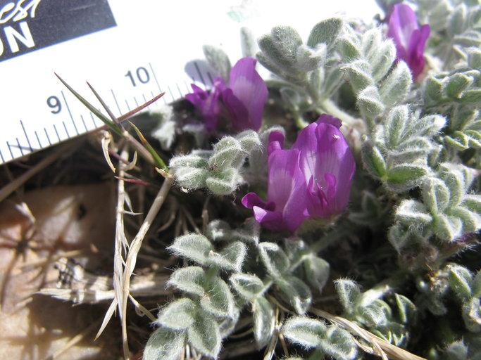 Astragalus purshii var. lectulus