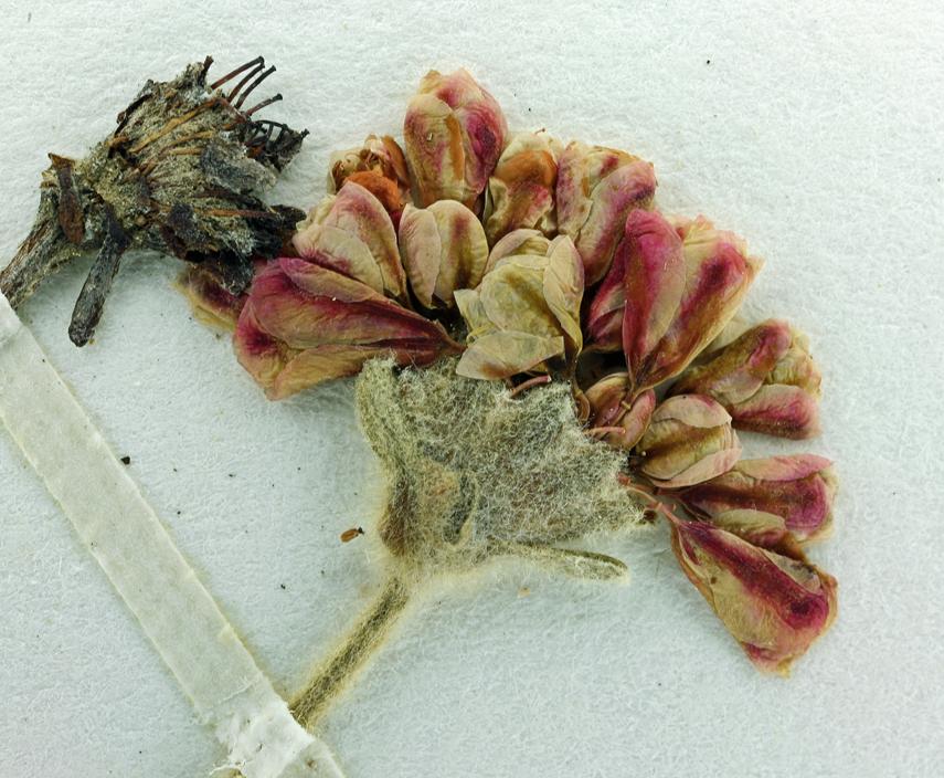 Eriogonum polypodum