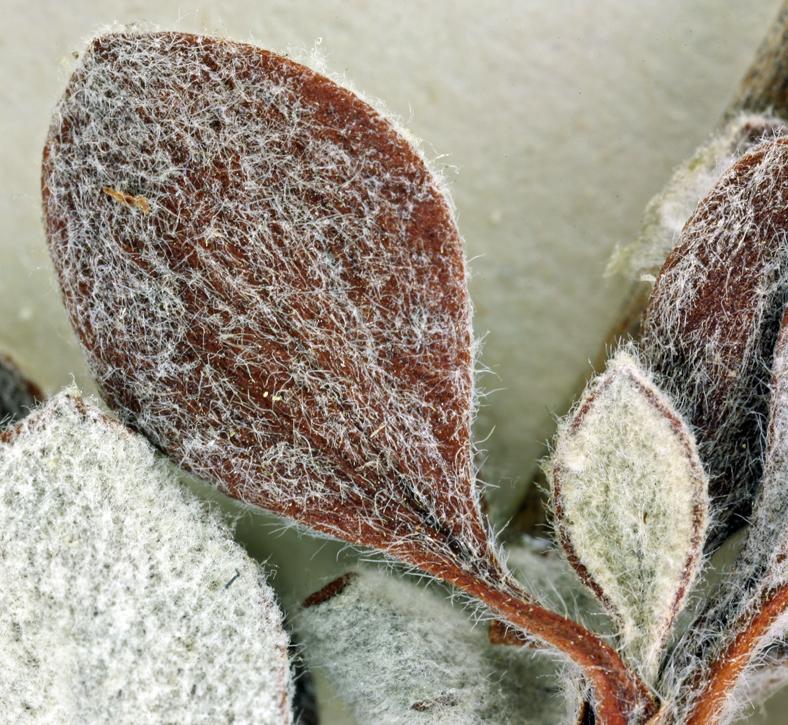 Eriogonum prattenianum var. avium