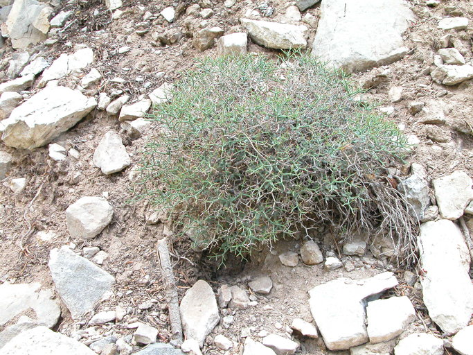 Eriogonum heermannii var. sulcatum