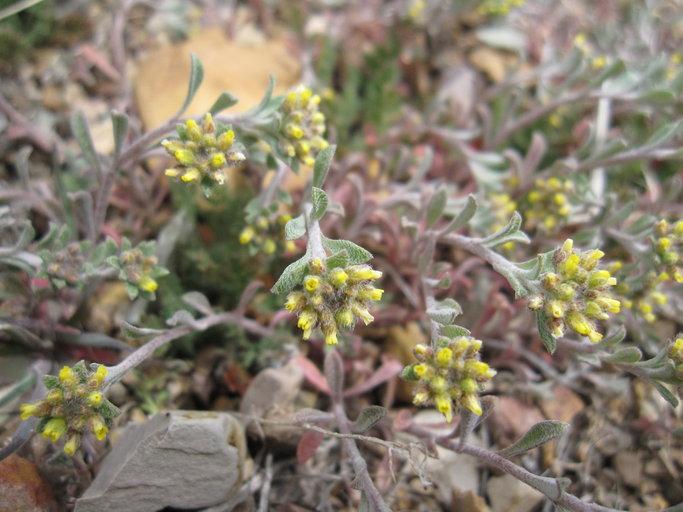 Alyssum alyssoides