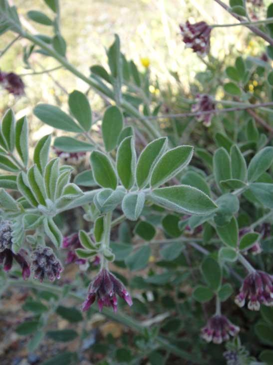 Hosackia crassifolia var. otayensis