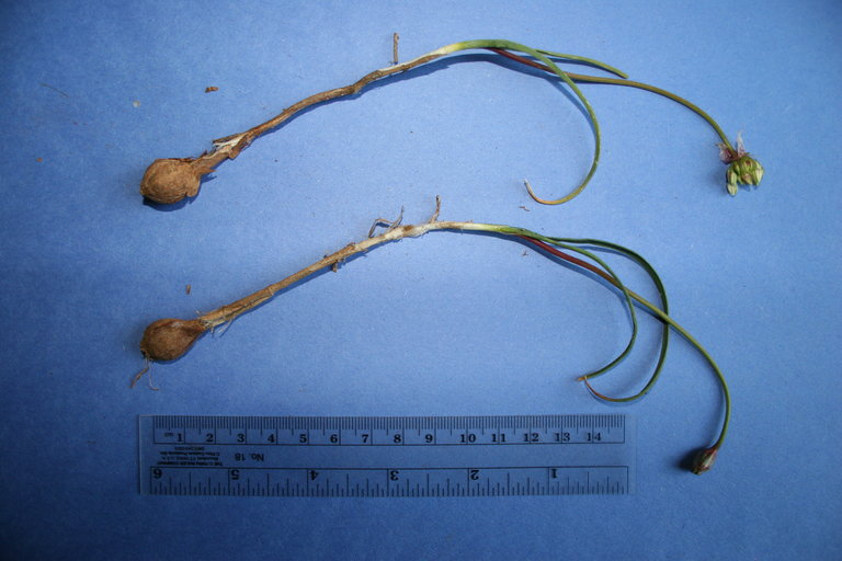 Allium lacunosum var. kernense