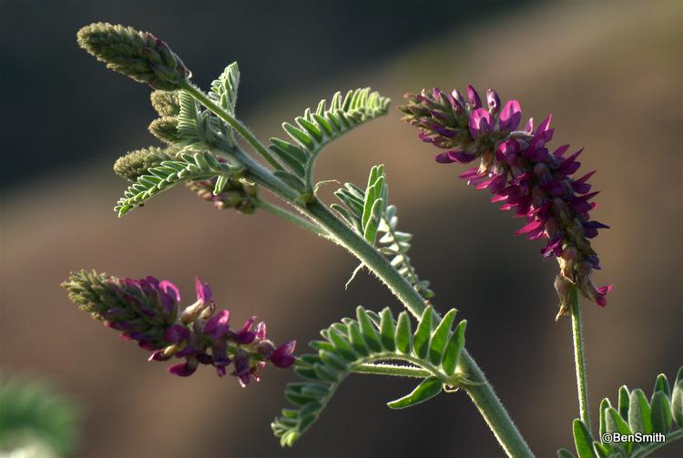 Astragalus brauntonii