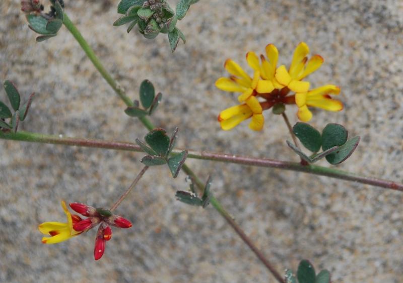 Lotus nuttallianus