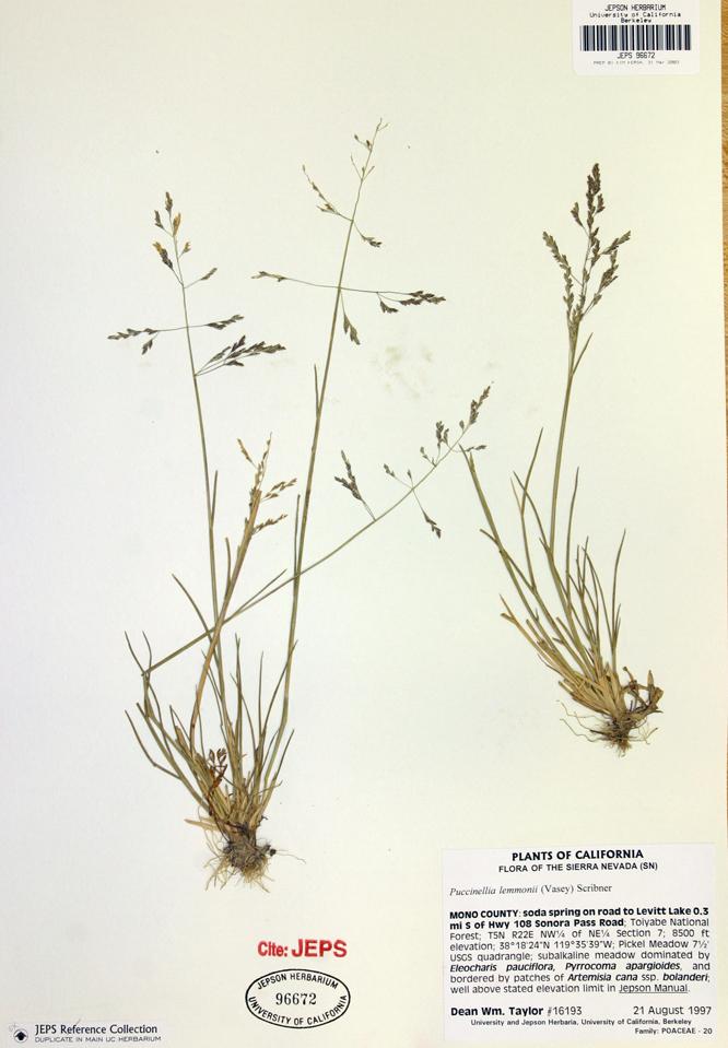 Puccinellia lemmonii