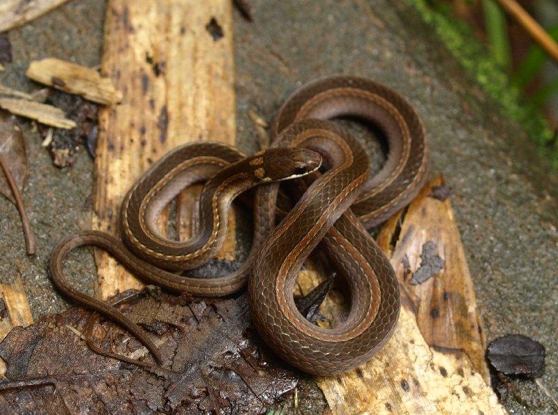 CalPhotos: Liopholidophis rhadinaea