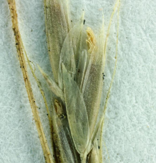 Trisetum cernuum