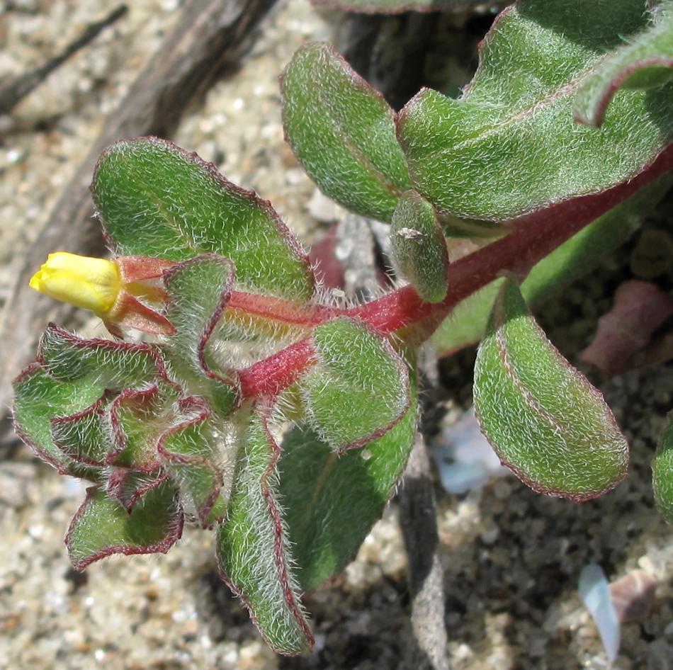 Camissonia guadalupensis ssp. clementina