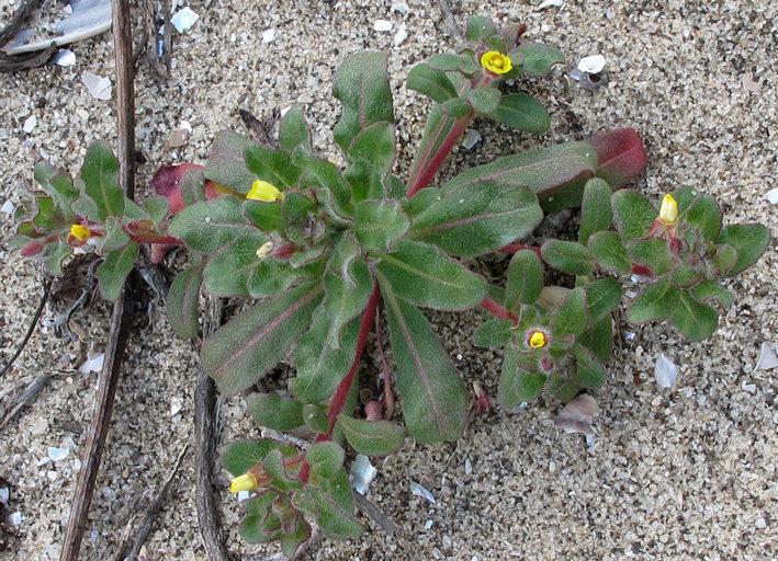 Camissonia guadalupensis