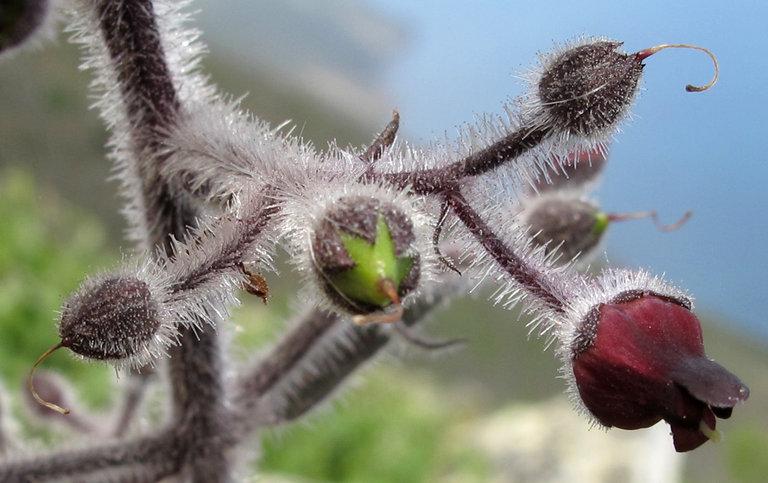 Scrophularia villosa