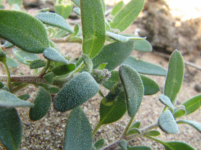 Chenopodium littoreum