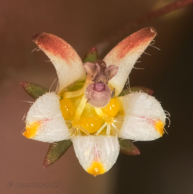 Nemacladus tenuis