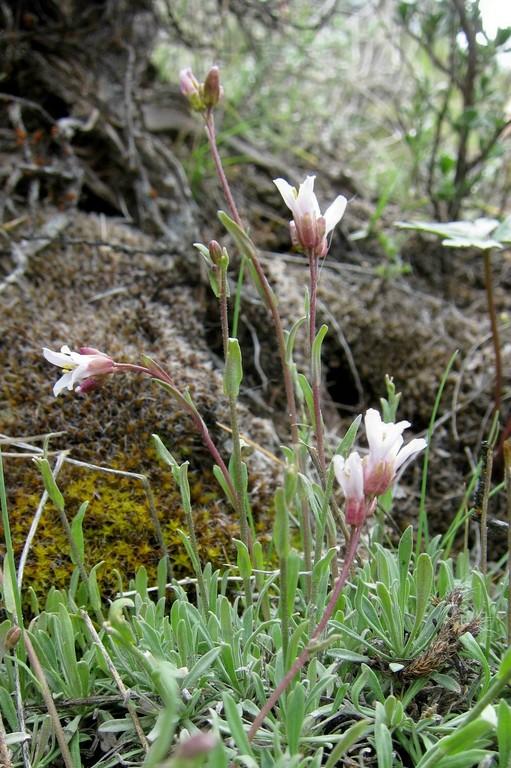 Boechera microphylla