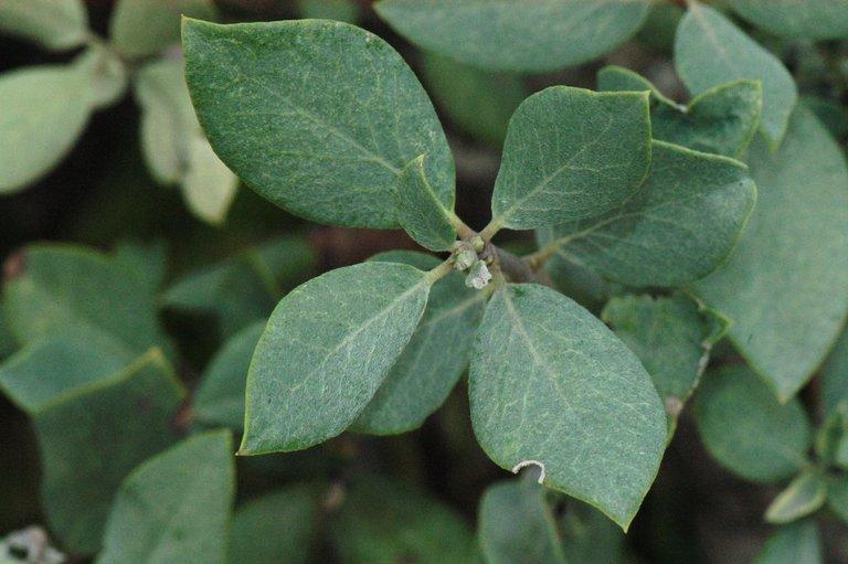 Garrya flavescens