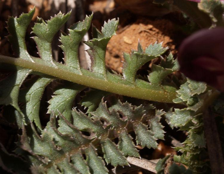 Pedicularis centranthera