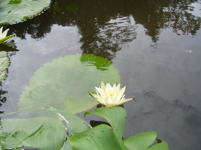 Nymphaeaceae image
