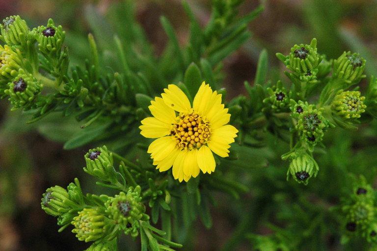 Deinandra clementina