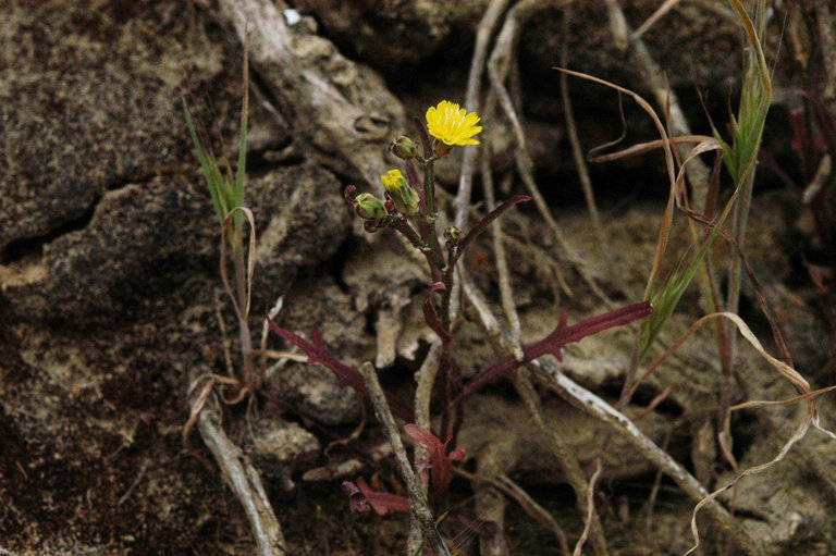 Malacothrix foliosa ssp. polycephala