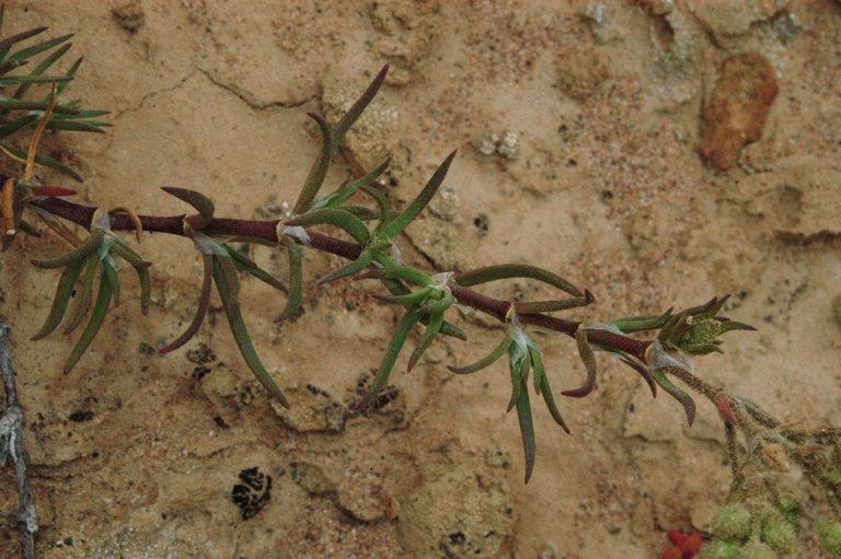 Spergularia macrotheca var. macrotheca