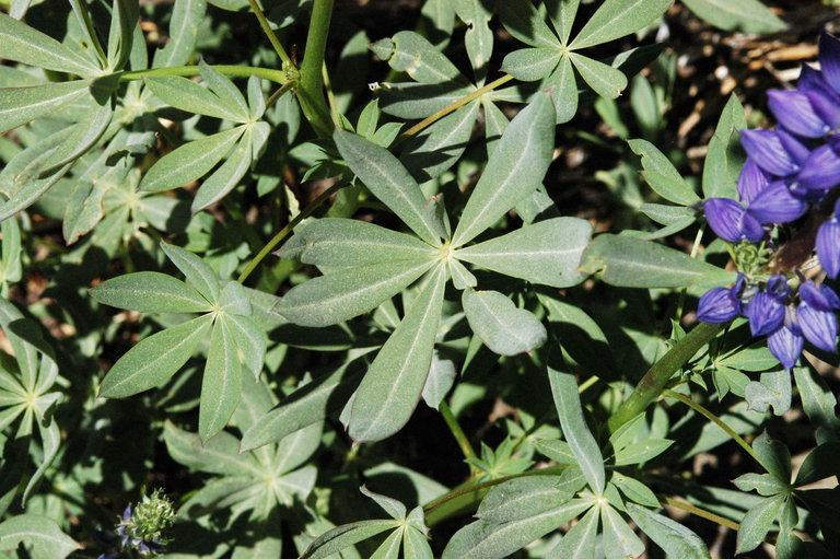 Lupinus polyphyllus var. burkei