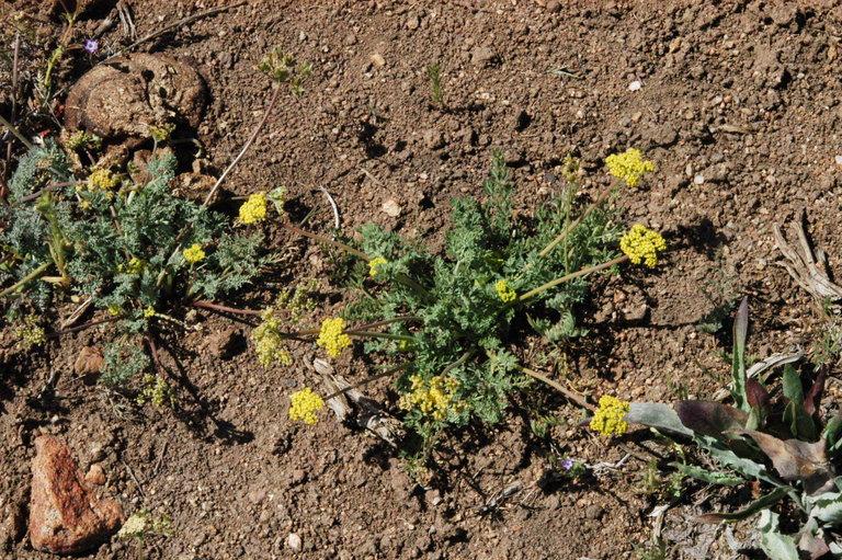 Lomatium austiniae