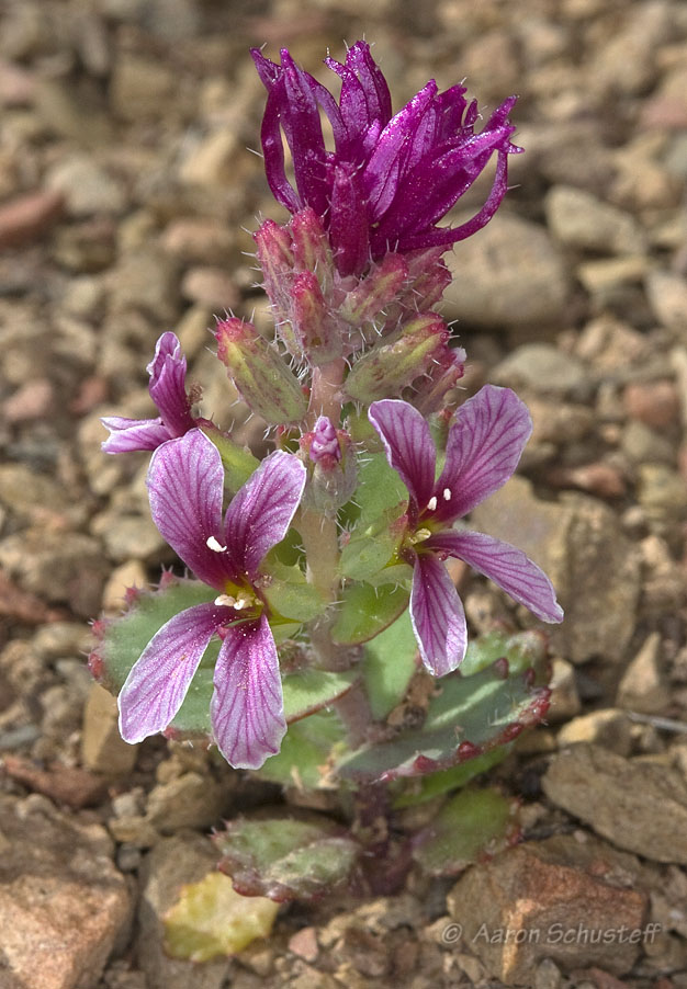Streptanthus callistus
