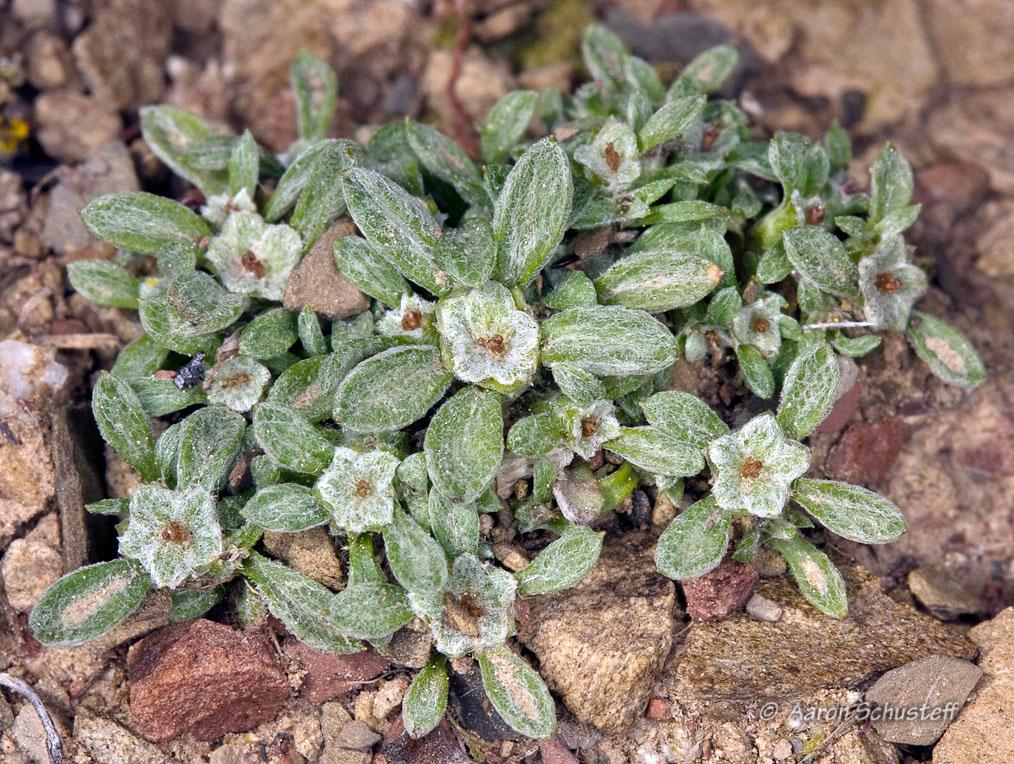 Hesperevax acaulis var. ambusticola