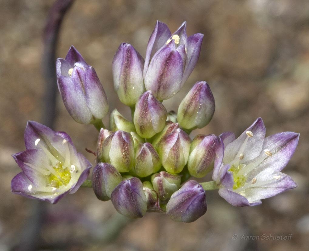 Allium diabolense