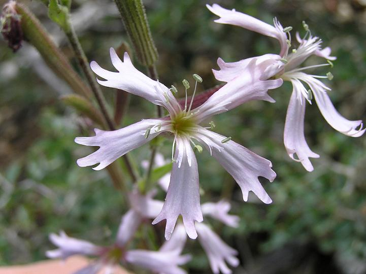 Silene occidentalis ssp. longistipitata