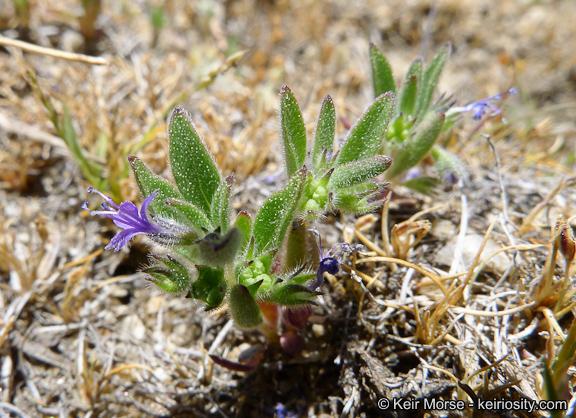 Trichostema austromontanum ssp. compactum