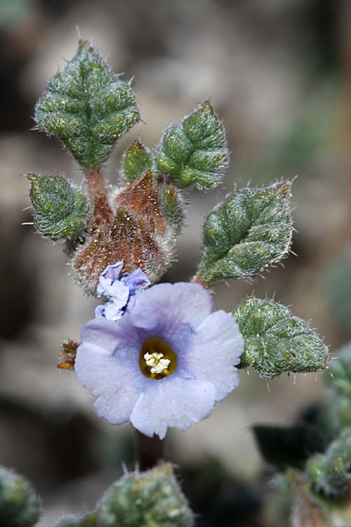 Tiquilia palmeri