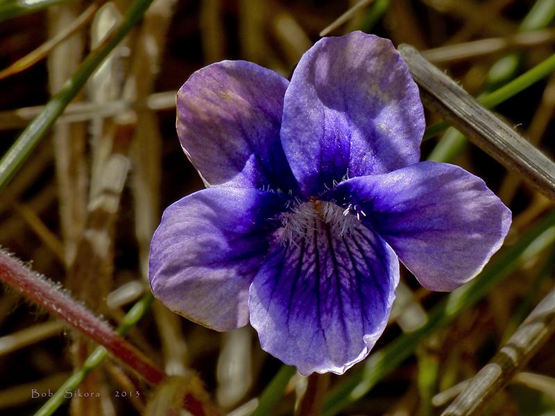 Viola adunca ssp. adunca