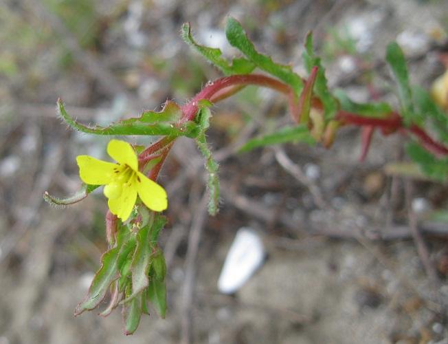 Camissoniopsis lewisii