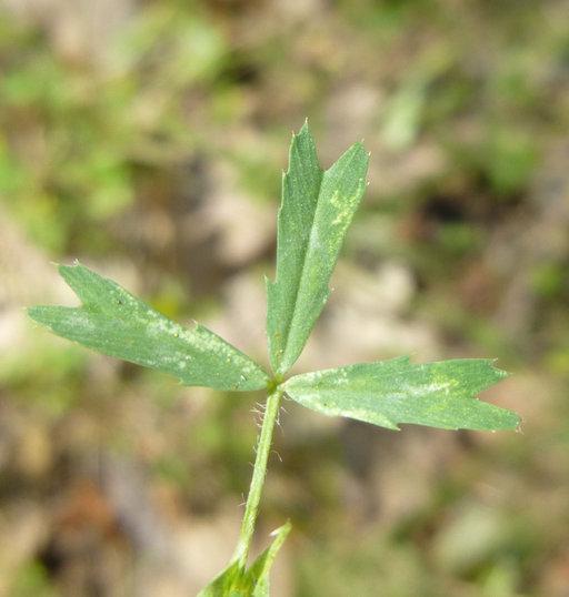 Trifolium bifidum var. bifidum