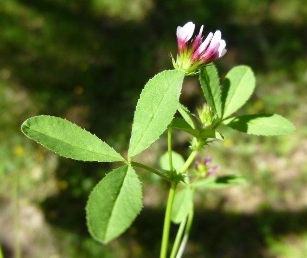 Trifolium variegatum var. variegatum