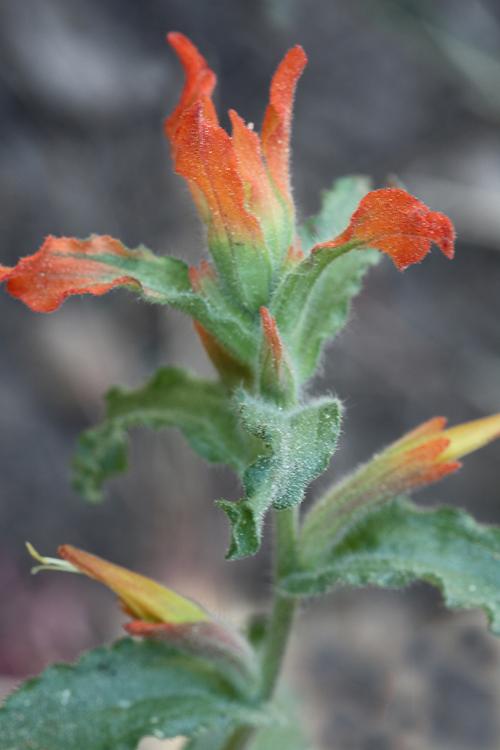 Castilleja applegatei ssp. disticha
