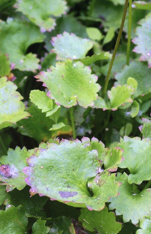 Micranthes odontoloma
