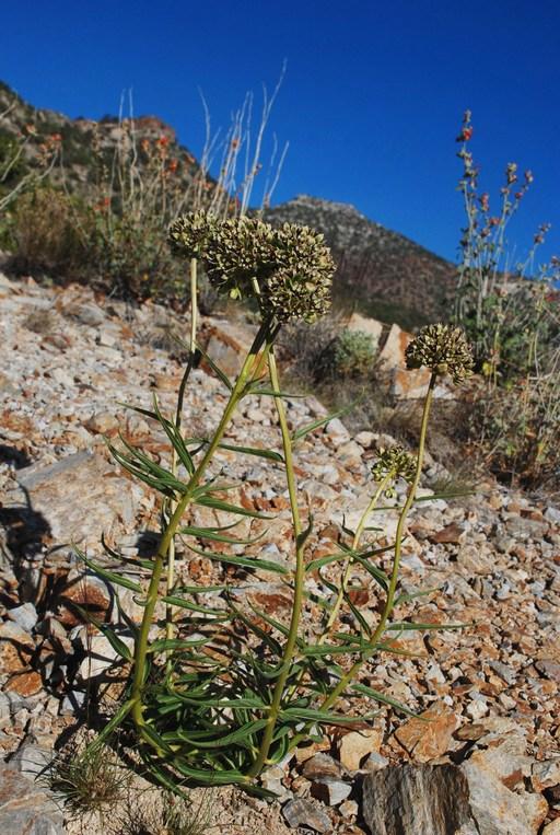 Asclepias asperula ssp. asperula