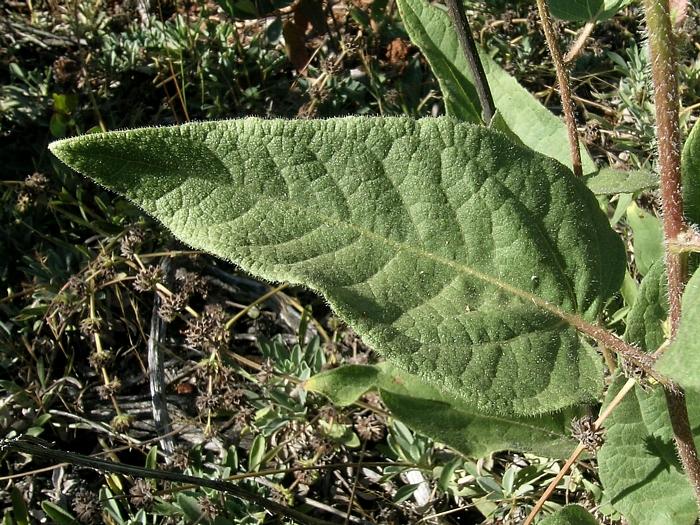 Wyethia reticulata