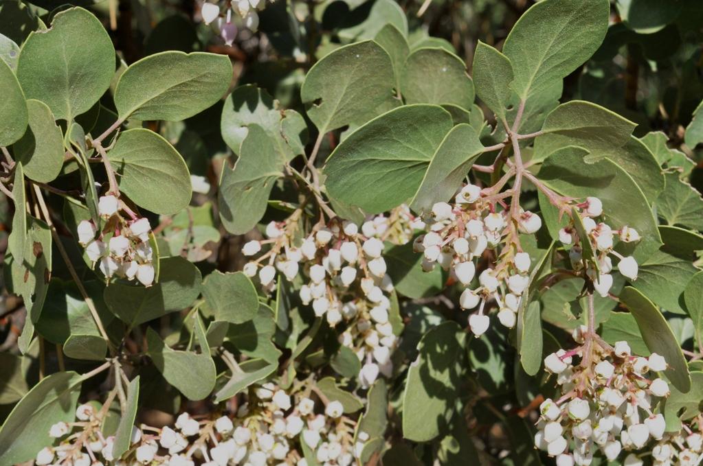 Arctostaphylos manzanita ssp. wieslanderi