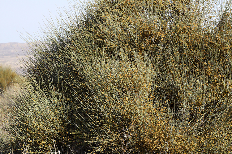 Ephedra californica