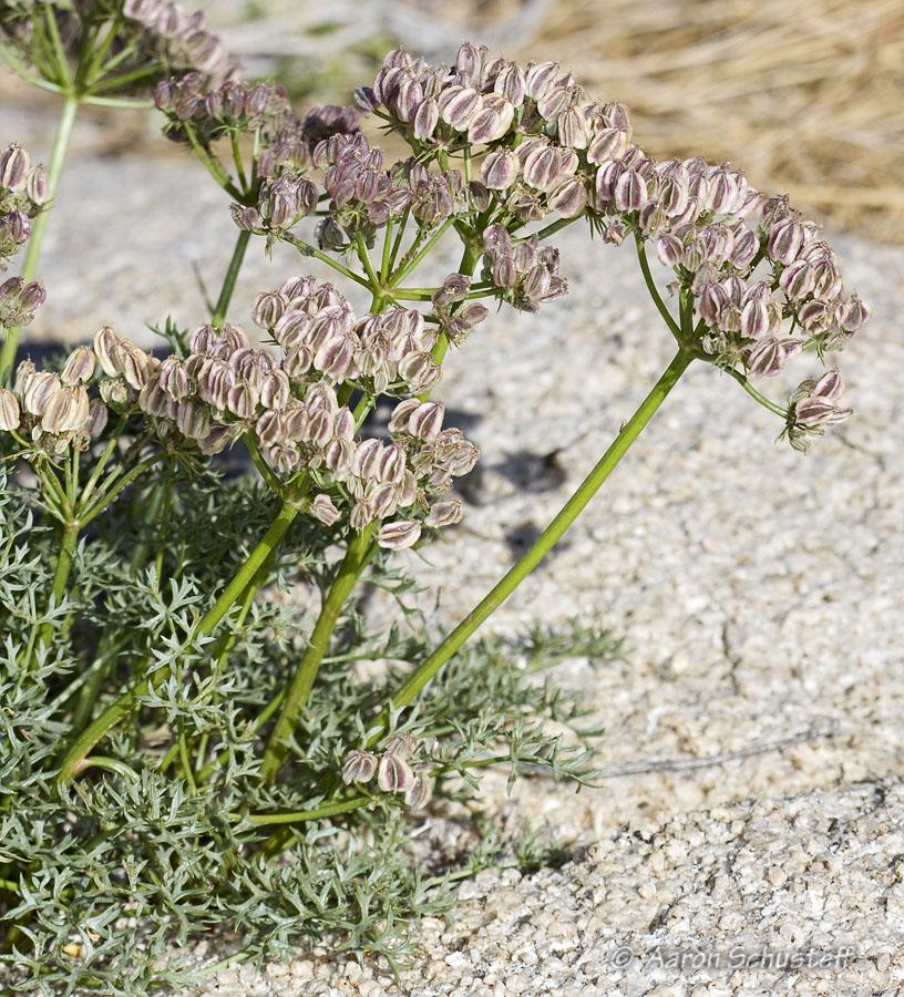 Cymopterus panamintensis