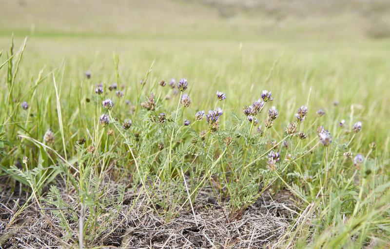 Astragalus didymocarpus var. milesianus