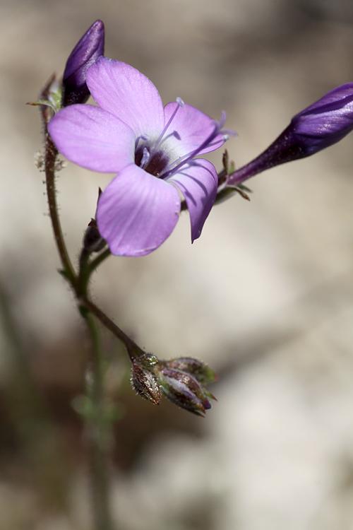 Gilia tenuiflora ssp. tenuiflora