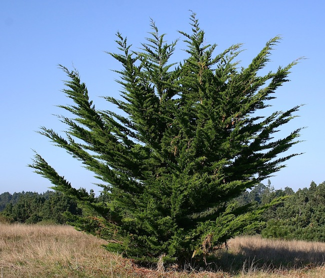 Hesperocyparis macrocarpa