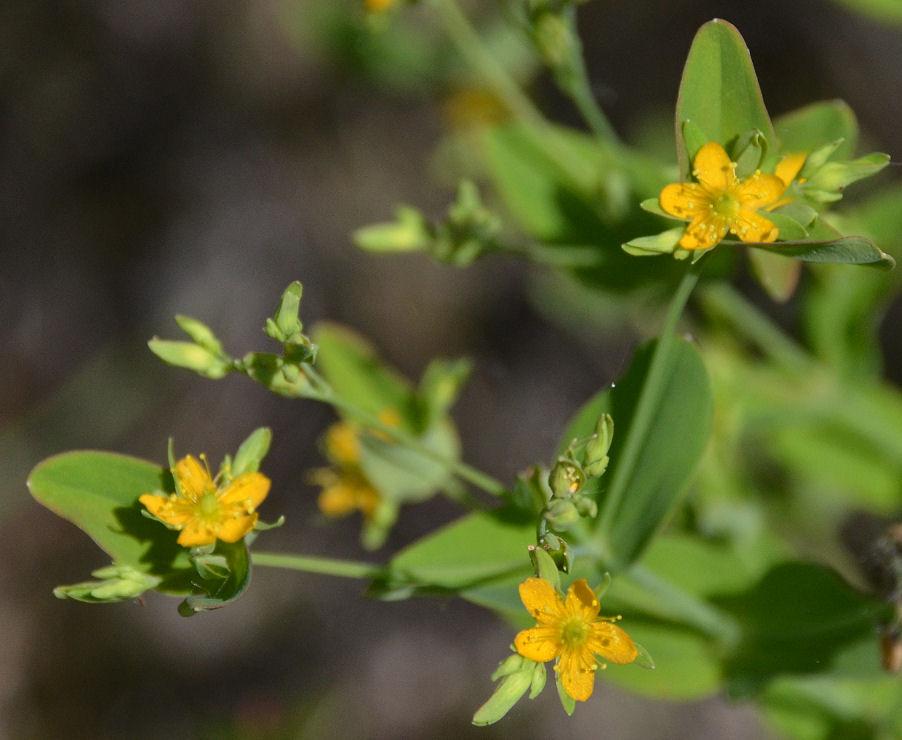 Hypericum mutilum ssp. mutilum